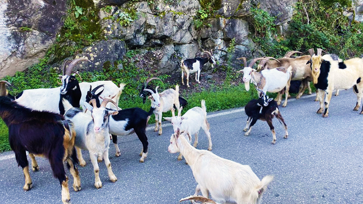 Goats from Lechkhumi